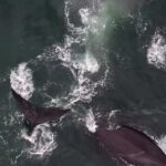Canadian Space Agency to spend $5.3M to protect North Atlantic right whale with space tech